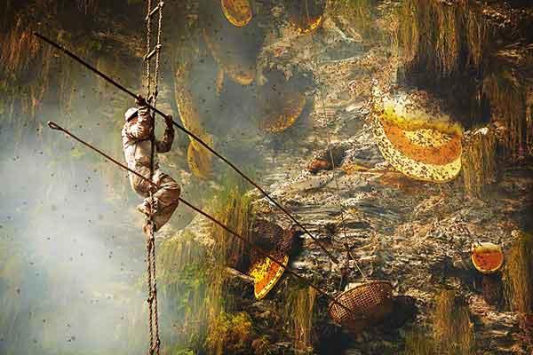 Як збирають мед диких бджіл у Гімалаях.